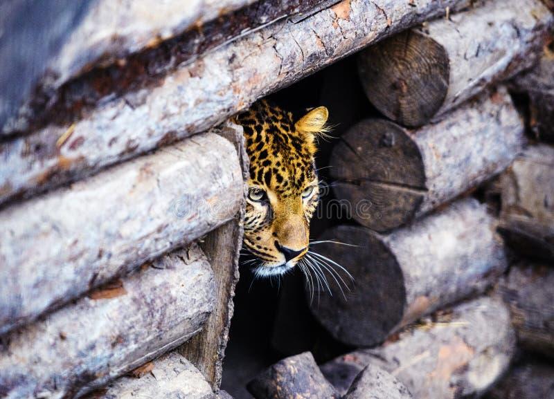一头美丽的豹子的画象 免版税库存照片