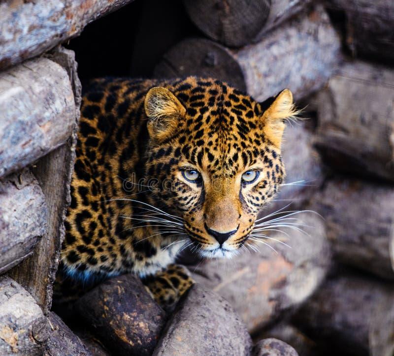 一头美丽的豹子的画象 免版税图库摄影