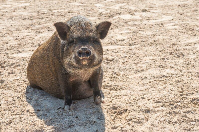 一头逗人喜爱的大腹便便的人猪 库存照片