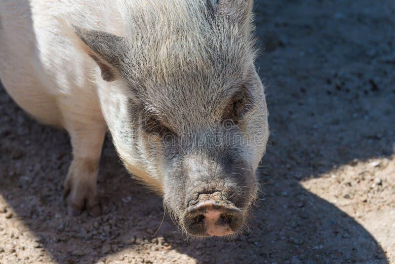 一头逗人喜爱的大腹便便的人猪 免版税库存图片