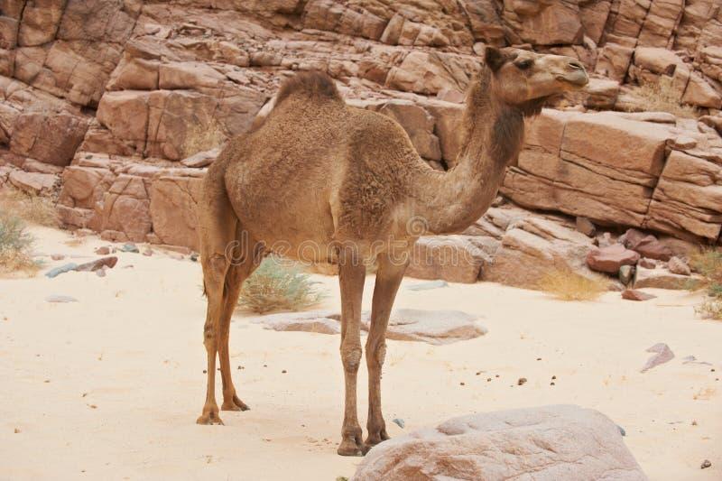 一头野生骆驼在西奈沙漠 免版税图库摄影