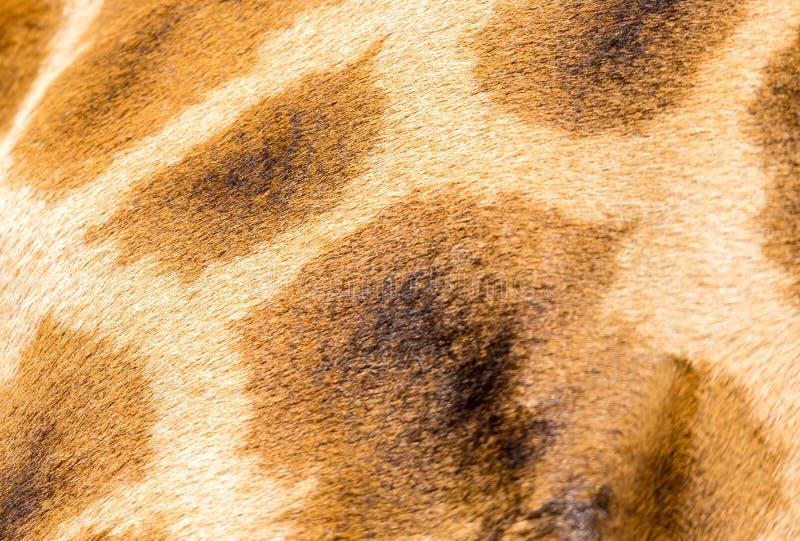 一头长颈鹿的毛皮在特写镜头的 免版税库存照片