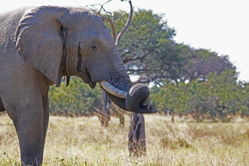 一头非洲大象的图象在非洲风景的与草原和树与树干在象牙 免版税库存图片