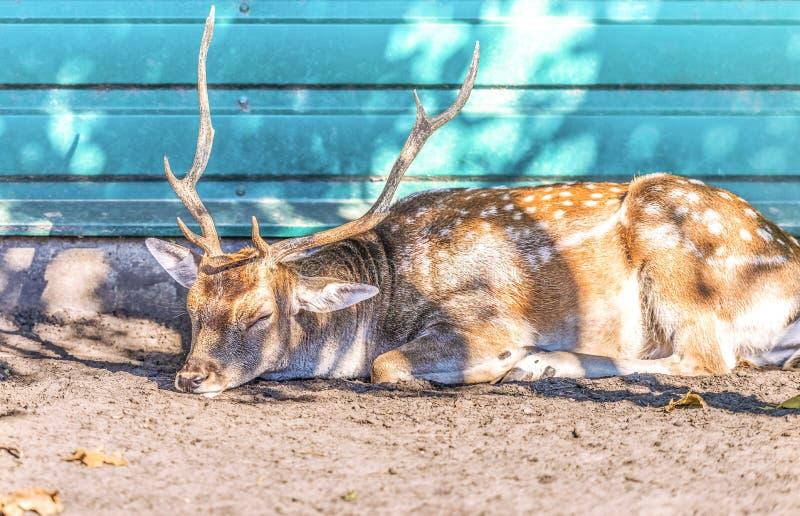 一头鹿在度假在基辅,乌克兰附近的公园Mezhyhirya 库存图片