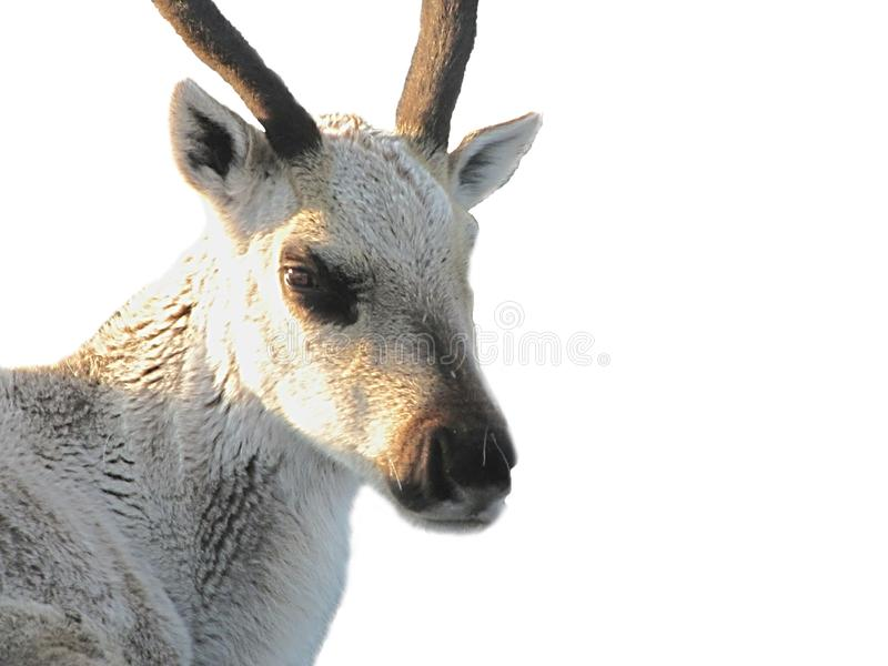 一头鹿的照片在寒带草原 免版税库存图片