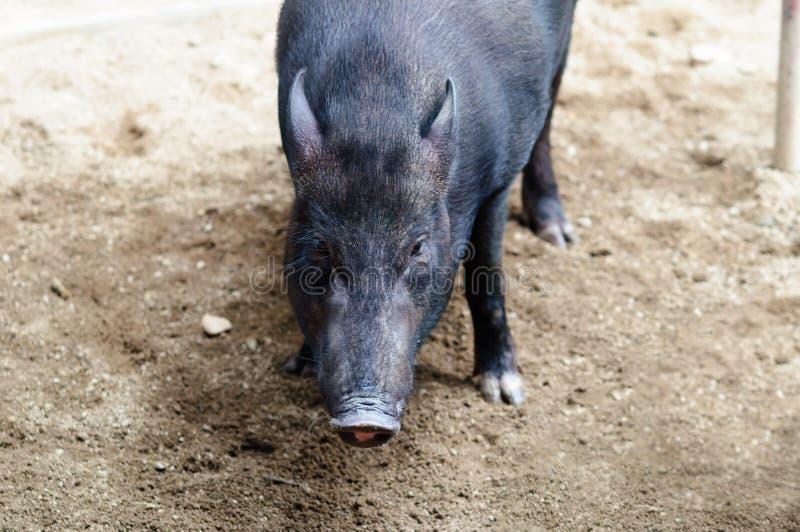 一头黑越南猪的枪口在农场的 库存照片