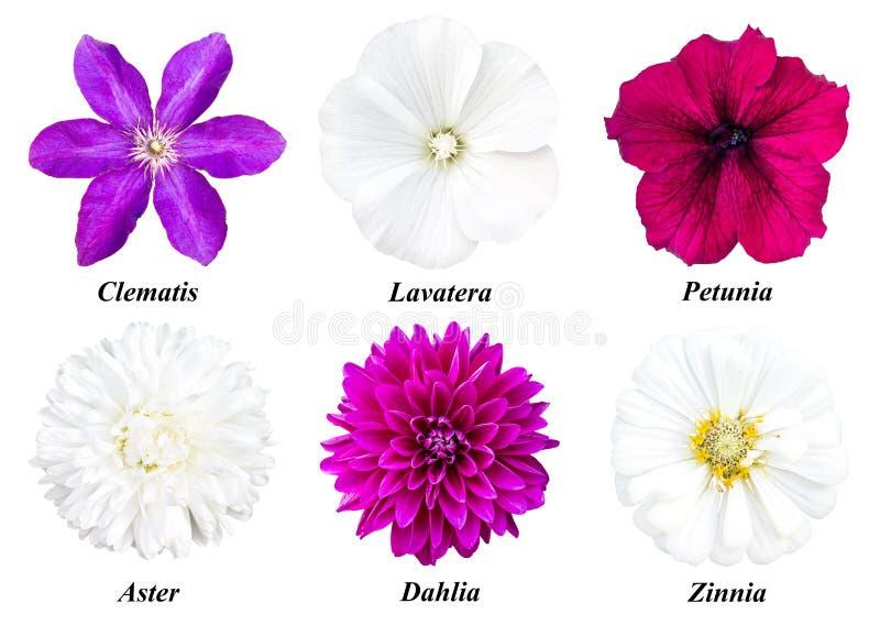 一套六朵花:铁线莲属, lavatera,喇叭花,翠菊,大丽花 免版税库存图片