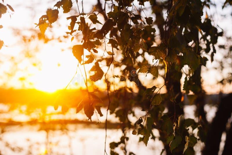 一套在日落的新鲜的桦树叶子有美好的模糊的背景 图象有葡萄酒作用 库存照片