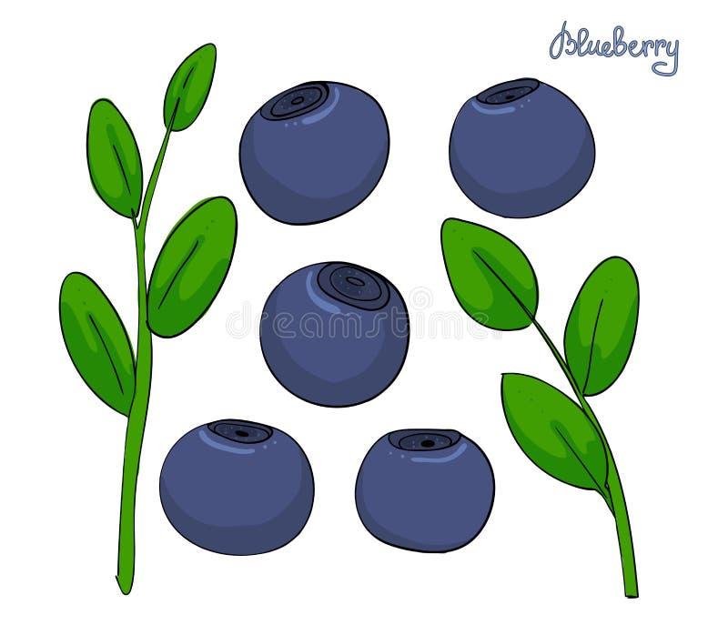 一套蓝莓元素 与叶子和蓝色莓果的小树枝越桔 森林植物美洲越桔 查出 皇族释放例证