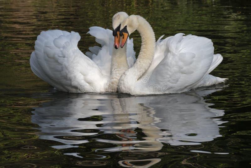 一对白色天鹅夫妇 免版税库存图片