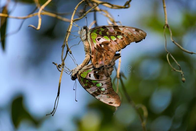 一对美丽的尾蓝鸟对蝴蝶 库存照片