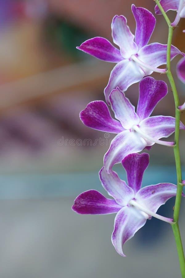 一小串棕色绿色背景的紫色兰花 库存照片