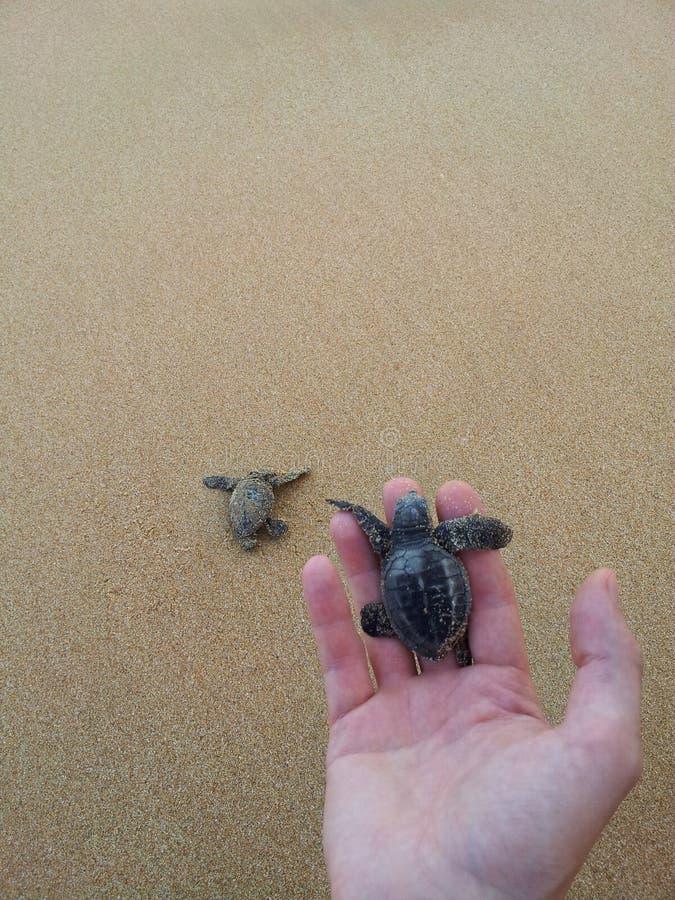 一小的婴孩海愚人海龟海龟carretta举行 库存照片