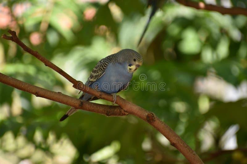 一小蓝色budgie的特写镜头坐树枝 免版税库存图片