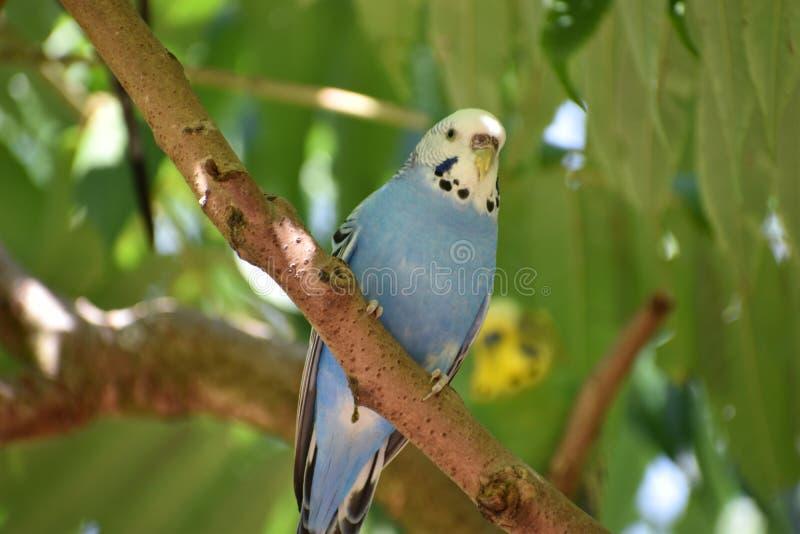 一小蓝色budgie的特写镜头坐树枝 免版税图库摄影