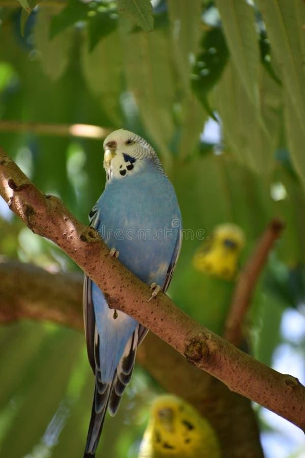 一小蓝色budgie的特写镜头坐树枝 库存图片