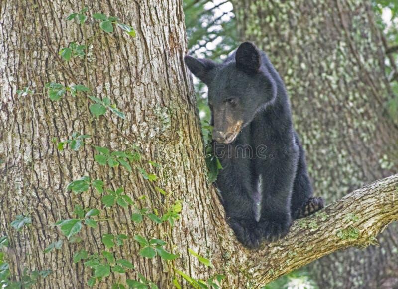 一岁黑熊崽在树的叉子的妈妈等待 库存图片