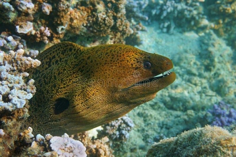 一巨型海鳝头Gymnothorax javanicus 免版税库存照片