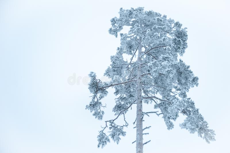 一巨大的松树的上面在雪的 免版税库存照片