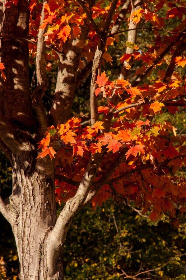 一幅孤独的红秋树的特写 免版税库存照片