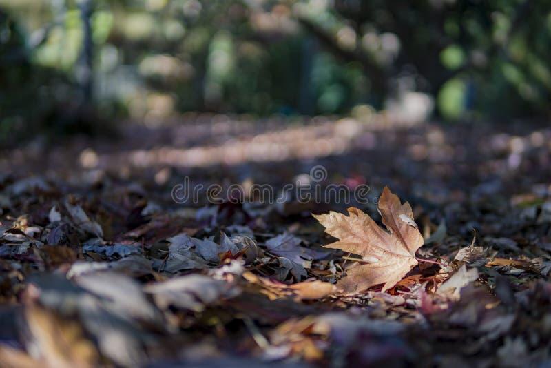 一干下落的枫叶的接近的射击 免版税库存图片