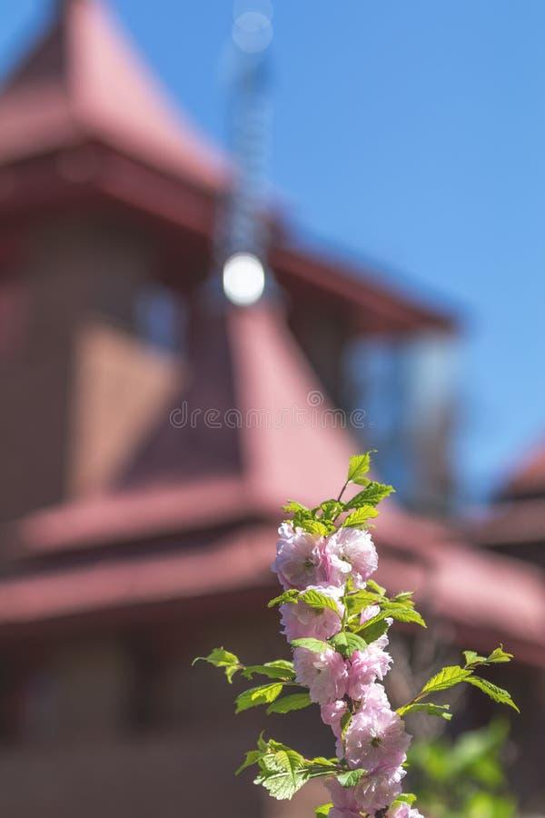 一开花的李子或flowerin桃红色花束特写镜头  免版税库存图片