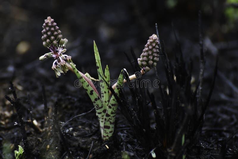 一异乎寻常的绿色Ledebouria厂ledebouria revoluta在被烧的草中上升 库存图片