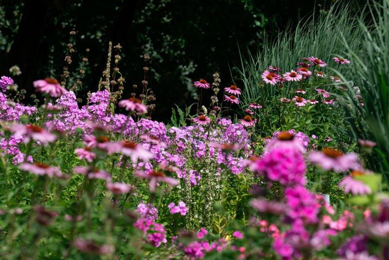 一张五颜六色的桃红色和紫色夏天花床的风景看法与福禄考和coneflowers 图库摄影