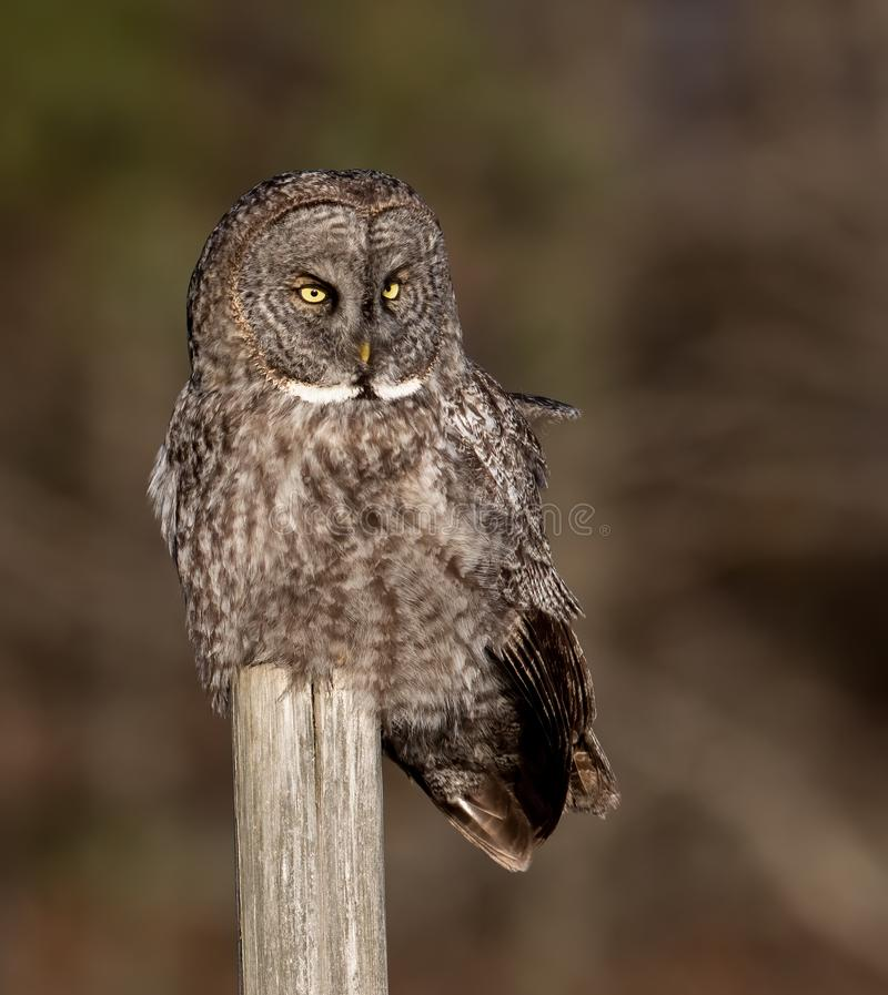 一张伟大的灰色猫头鹰画象 免版税库存图片