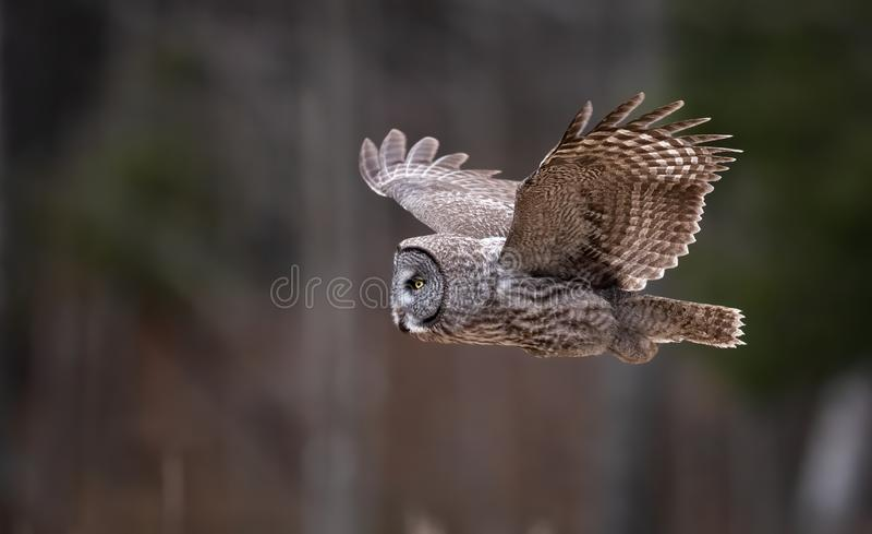 一张伟大的灰色猫头鹰画象 图库摄影