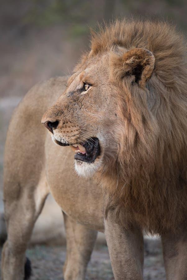 一张狮子` s面孔的图象的关闭在外形的 免版税库存照片