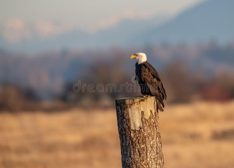 一张白头鹰画象 免版税图库摄影