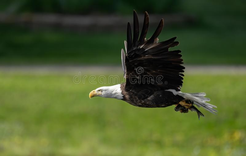 一张白头鹰画象 免版税库存照片