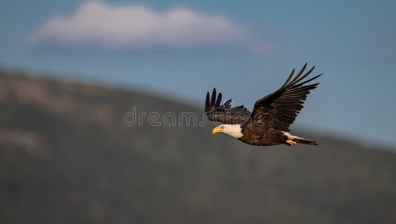 一张白头鹰画象 库存图片