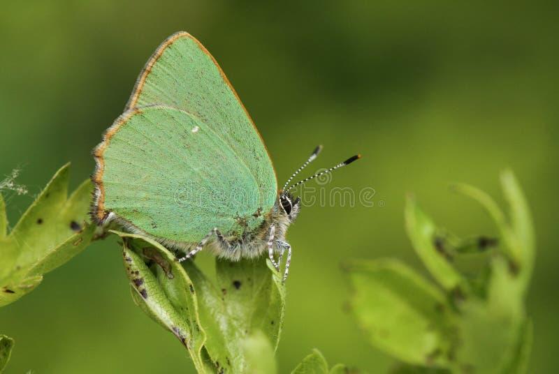 一惊人的绿色翅上有细纹的蝶蝴蝶Callophrys rubi的侧视图在有它的被关闭的翼的一片山楂树叶子栖息 库存照片