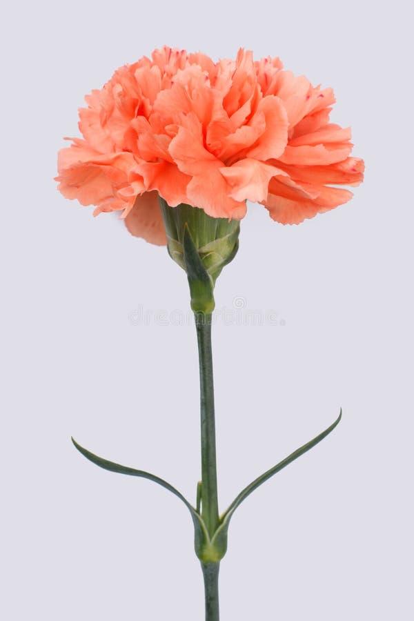 一支唯一橙色康乃馨花 图库摄影