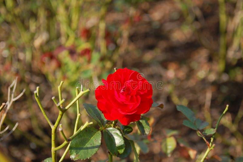 一支红色康乃馨的单发射击 库存照片