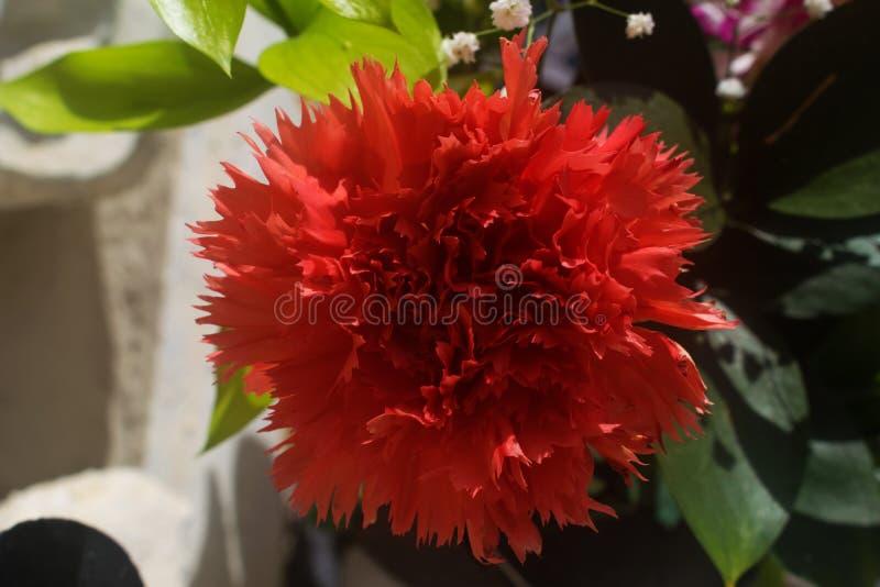 一支红色康乃馨的宏观射击 免版税库存图片