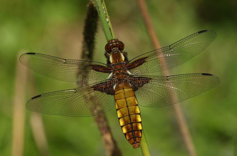 一新兴宽广的有驱体的追赶者蜻蜓Libellula depressa 库存照片