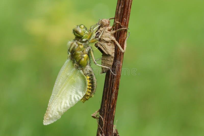 一新兴宽广的有驱体的追赶者蜻蜓Libellula depressa 图库摄影