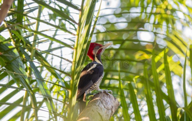 一明亮的红色有顶饰男性Lineated啄木鸟Dryocopus pileatus在棕榈叶在起斑纹的阳光下坐在墨西哥 免版税库存图片
