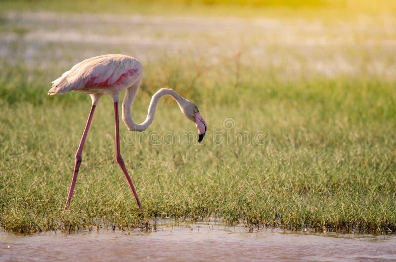 一更加伟大的火鸟phoenicopterus roseus,走通过湿软的草在Isimangaliso沼泽地停放,圣卢西亚 免版税库存图片