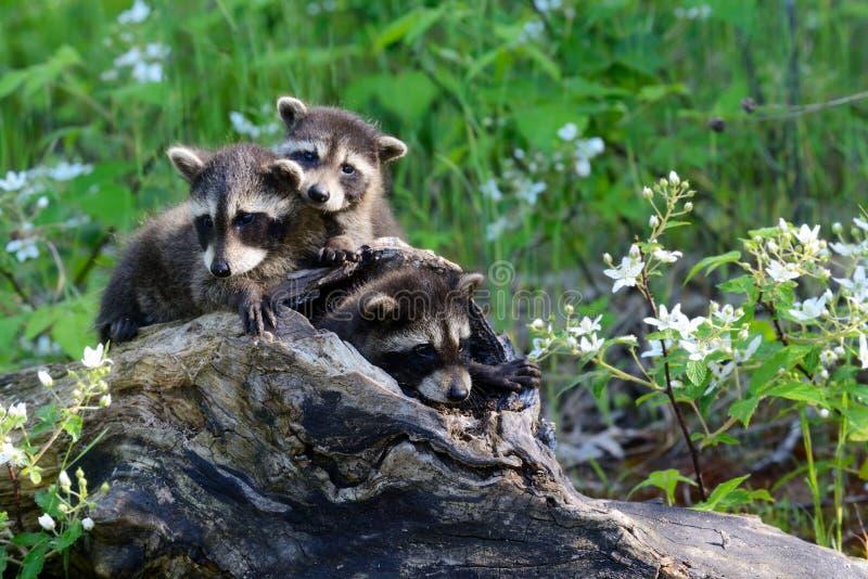 从一本空心日志出来的三头小浣熊 库存图片