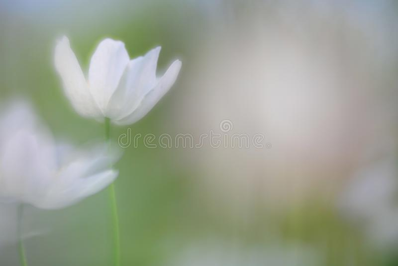 一朵五叶银莲花的精神 库存照片
