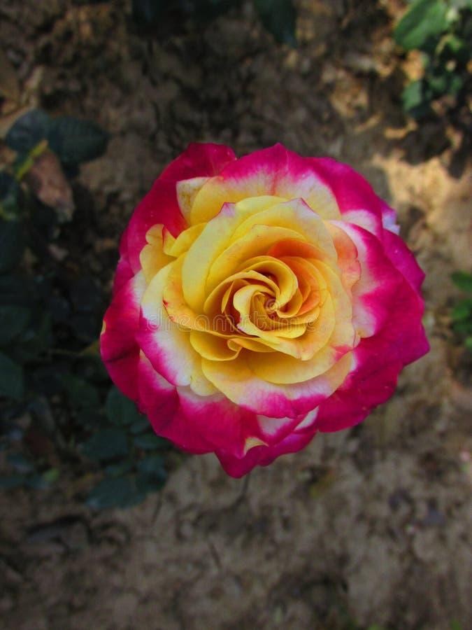 一朵五颜六色的玫瑰的细节 免版税库存照片