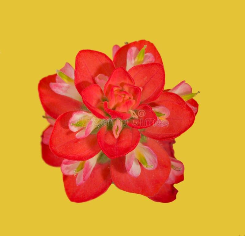一朵印度画笔花的明亮的红色绽放 库存照片