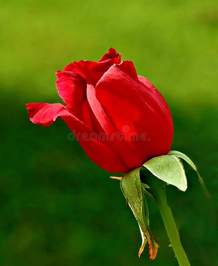 一朵唯一玫瑰 免版税库存照片
