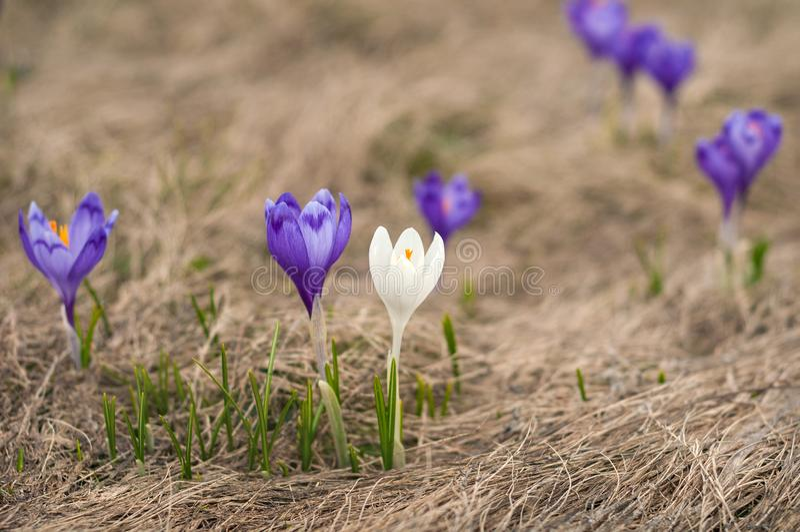 一朵在紫色花中的白色番红花开花 开花的蓝色番红花在夏天 库存照片