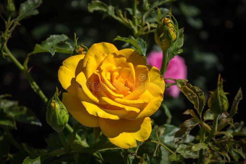 一朵大圆的黄色玫瑰 免版税库存图片