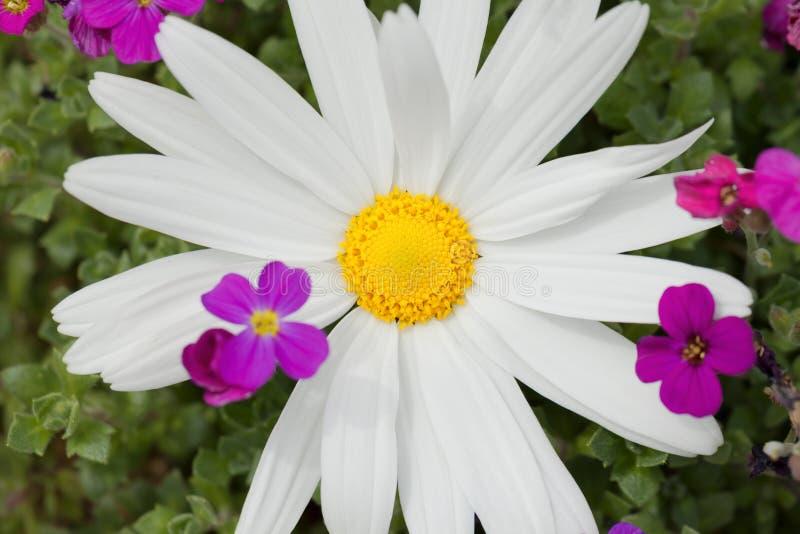 一朵大延命菊花在庭院里 免版税库存图片
